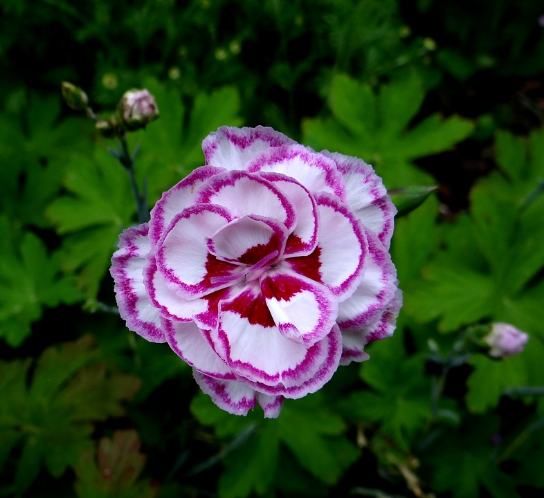 claveles flores
